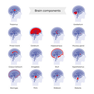 Set of vector illustration of brain components