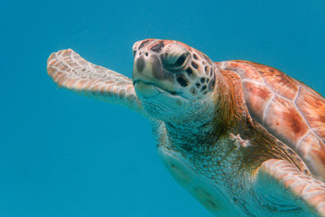 Photo sur Aluminium Tortue Green turtle (Chelonia mydas) swimming in the Caribbean Sea in Barbados