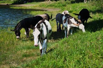 Donkeys at the famous maar in eifel in Germany