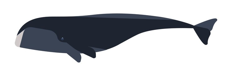 Arctic whale flat vector illustration. Huge marine animal side view. Abstract giant bowhead whale. Balaena mysticetus species minimalist drawing. Endangered Arctic waters mammal clipart.