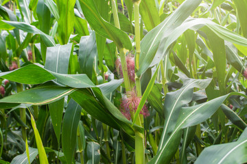 young corn and corn plant in the field.