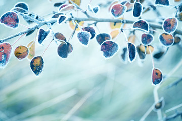Last dry yellow leaves in hoarfrost. Natural autumn background. Soft selective focus. Wall mural
