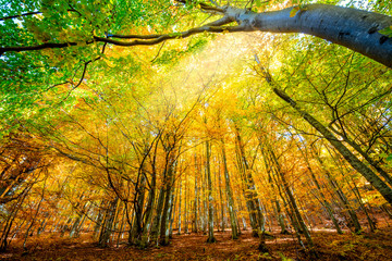 Obraz Vibrant Autumnal landscape with bright yellow leaves and trees in wild forest - fototapety do salonu
