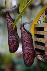 meat eater plant, Venus flytrap, exotic flowers and plants