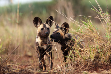 The African wild dog (Lycaon pictus), also known as African hunting or  African painted dog, painted hunting dog or painted wolf, portrait of the adult in tall green and yellow grass.