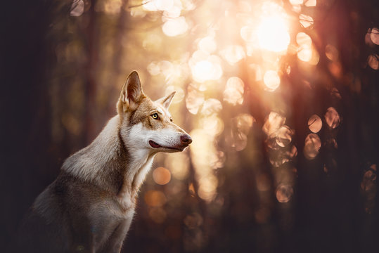 Saarloos wolfdog in a forest with bokeh