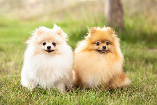 two Zverg Spitz, Pomeranian puppies