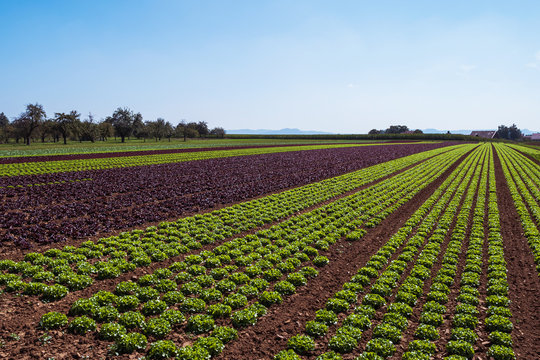 cultivated field of green lettuce on the sandy soil in summer