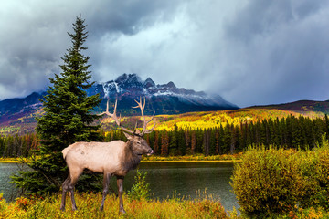 Gorgeous deer with horns grazing in forests