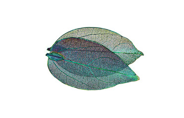 Wall Mural - Transparent skeleton leaf with beautiful texture   blue and pink background,  close-up macro , expressive artistic image nature
