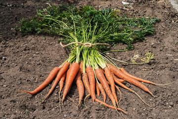Just picked orange carrots