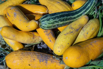 Freshly Harvested Striped Zucchini and Yellow Summer Squash in a Pile
