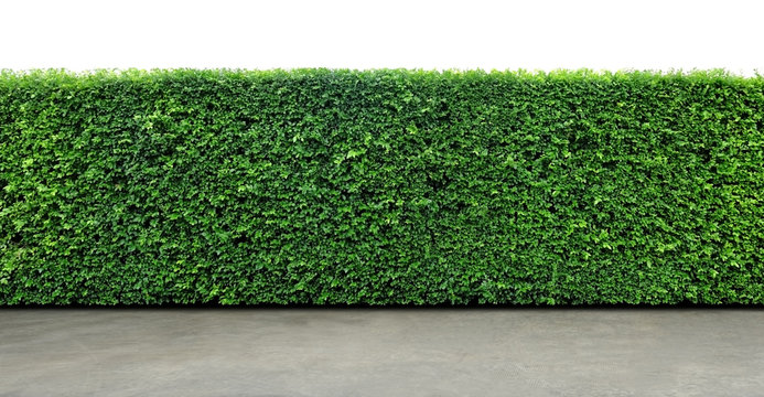 cement floor and green hedges. upper part  isolated on white background
