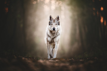 Fotobehang Wolf Wolfdog portrait in natural environment in a wood