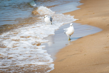 Ring-Billed Gulls, a species of Seagulls, on Oval Beach in Michigan
