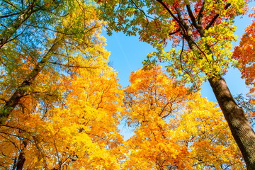 Treetops during autumn foliage on a sunny day