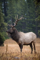 Keuken foto achterwand Bos in mist Cervus canadensis, Elk, Wapiti is standing in grass, in typical autumn environment, majestic animal proudly wearing his antlers, ready to fight for an ovulating hind,Yellowstone,USA