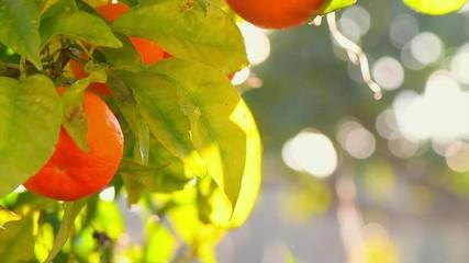 Fotoväggar - Ripe Orange Citrus fruits or tangerines hanging on a tree. Beautiful Healthy organic juicy oranges in Sunny Orchard. Orange gathering. 4K UHD video 3840X2160 slow motion