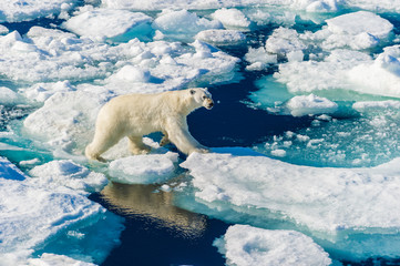 Foto op Plexiglas Ijsbeer Polar bear walking between ice floats on a large ice pack in the Arctic Circle, Barentsoya, Svalbard, Norway