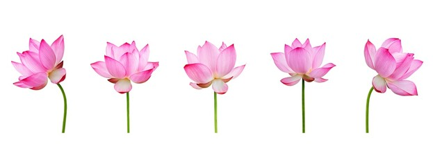 Fototapeten Lotosblume Lotus flower collections isolated on white background. File contains with clipping path so easy to work.