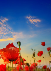 Wall Mural - Poppy field, green grass and bright dawn on sky.