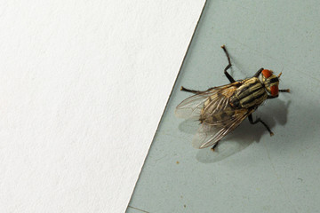 A macro view of a housefly (musca domestica) at rest on a tiled floor with white copy-space, magnified details of the top (dorsal) of the body with transparent wings and beady eyes.