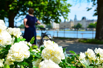 Tender white rose bush in front of the Copenhagen cityscape, Denmark. Nature in the city