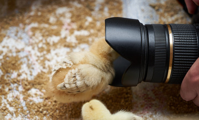 Taking photo of Newborn yellow baby chicks in a wooden box