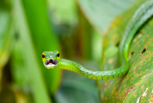 Portrait of the arboreal Green Vine Snake (Oxybelis Fulgidus) with open mouth inside Tortuguero national park, Costa Rica, Central America. Unsharp background, sharp open mouth.