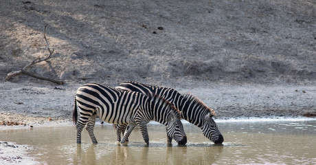 Pair of Zebras drinking water from a pond