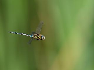 Fotoväggar - Emperor dragonfly, Anax imperator
