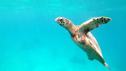 cute green sea turtle (Chelonia mydas) swim swims in turquoise water in a lagoon of red sea, Marsa Alam, Egypt