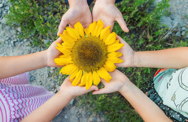 children are holding a sunflower in their hands. Selective focus.
