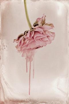 pink ranunculus, melting