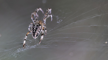 Macro photo of the spider with beautiful picture on the back and legs and with spiderweb