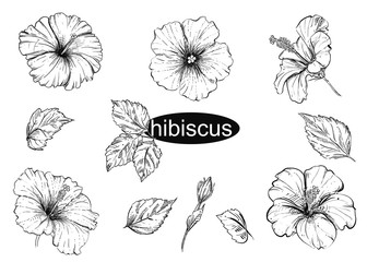 Detailed hand drawn black and white illustration set of flowers hibiscus, leaf. sketch. Vector.