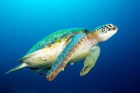 Loggerhead turtle, Caretta caretta, Raja Ampat Indonesia.