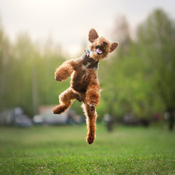 Welsh terrier outdoors