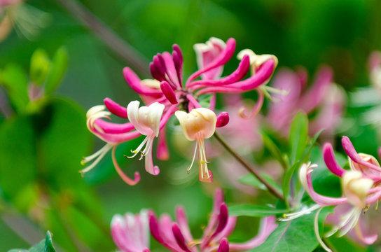 Red Lonicera japonica or Japanese Honeysuckle