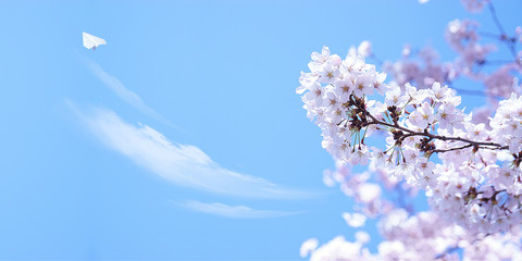 Wall Mural - 満開の桜と紙飛行機(背景は青空と雲)