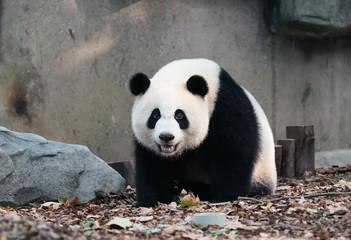 Fotobehang Panda giant panda in chengdu wild zoo