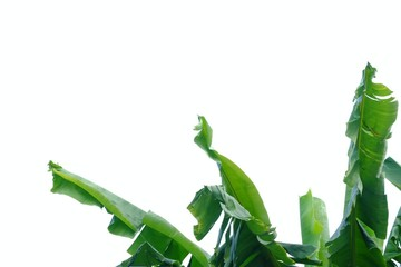 Banana leaves on white isolated background for green foliage backdrop