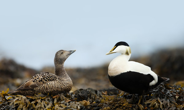 Close-up of a female and male common eiders in seaweeds