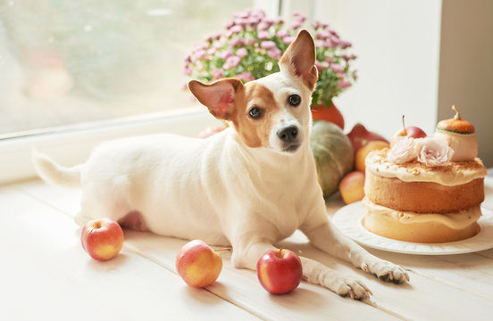 Dog jack russell terrier and naked cake with pumpkins, apples and flowers for halloween.Thanksgiving Day table. Happy Halloween.Bright autumn background.Colorful autumn card.Autumn flower arrangement