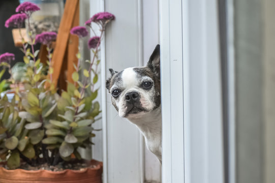 Little Boston Terrier dog sticking its head out a window into a backyard