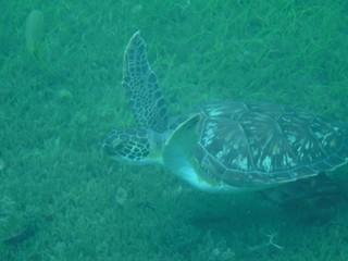 Photo sous-marine d'une tortue qui nage