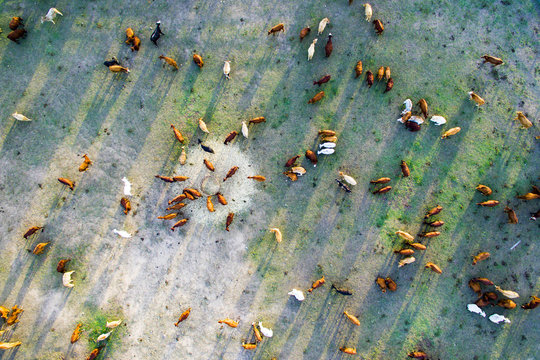 Aerial shot of cattle milling around hay feeder