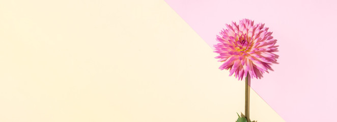 Pink dahlia flower on pastel yellow background. Top view. Flat lay. Copy space. Banner. Creative...