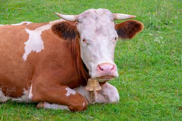 Kuh auf der Weide bei Krün