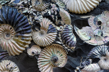 Fossilized seashells in a black stone